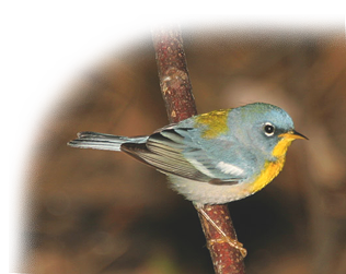 Northern Parula by Jerry Kumery